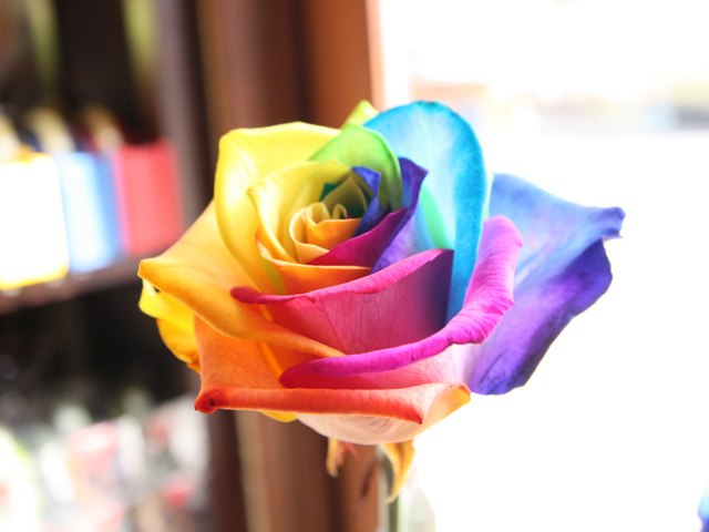 Roses and hybrid roses for Where can i buy rainbow roses